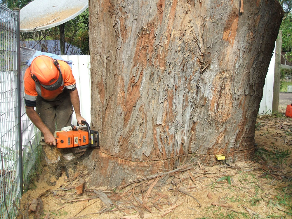 Smitty making final cut on large blackbutt in Avoca