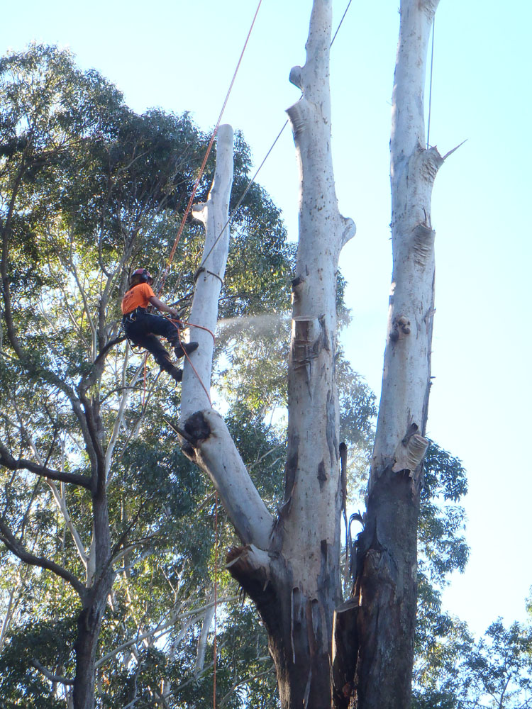 Controlled lowering of branches over house